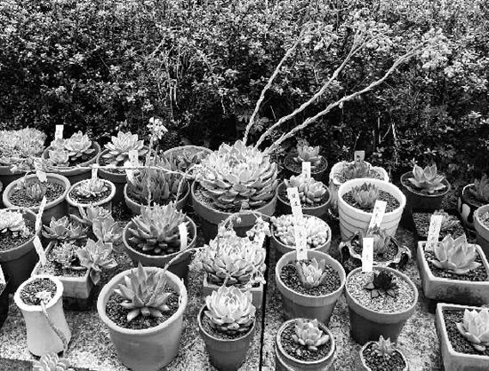 花坛边放满了多肉植物。