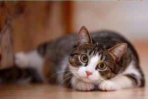 猫虽可爱不要贪恋哦:猫抓病势头严重(双语)