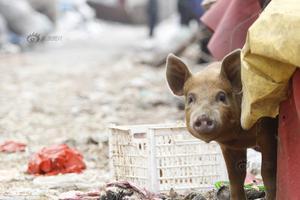 """""""海归""""返乡当""""猪倌"""":让村民一起富起来"""