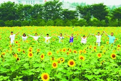 南京信息职业技术学院的向日葵足有60亩,每年六七月份盛开,花期一个多月。 本报通讯员 楠信园摄