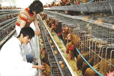 郭翔(前)在自家的生态养鸡场。