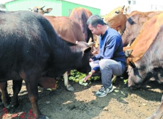 邹子龙和他养的牛