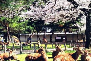 2016年度85名外国人因日本奈良鹿受伤 华人最多