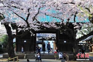 春日樱花:东京樱花开放 比往年提早9天