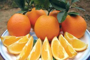 剑桥女博士回国种脐橙:年收入近4000万