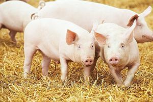 看好猪市风口 这30人想用AI养殖中国的6.9亿头猪