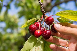 BBC地道英语:Cherry-pick 择优挑选