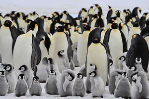 BBC媒体英语: 专家呼吁加强对南极帝企鹅的保护