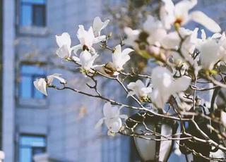 繁花迎春 大学校园群芳争艳