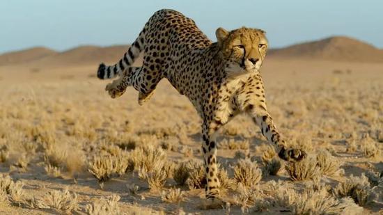 片中对猎豹的飞跃速率测算很是出色,令人赞叹