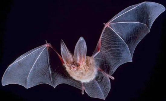 超过1000种蝙蝠在演化过程中没有直接与鸟类形成过竞争关系。| 图片来源:Wikipedia
