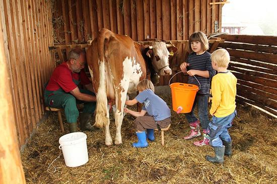 农场幼儿园的孩子在挤牛奶。