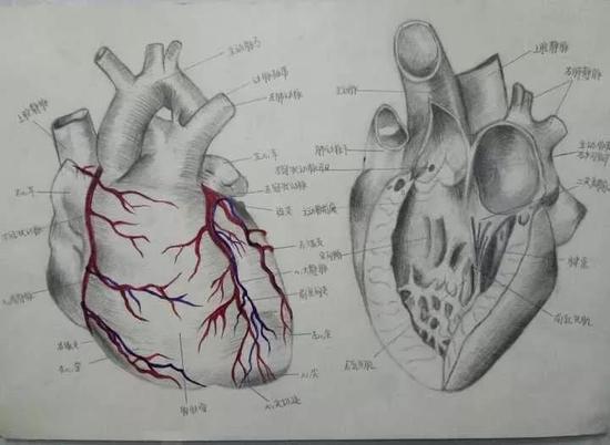 医学生手绘解剖图艺术感十足(图)(2)