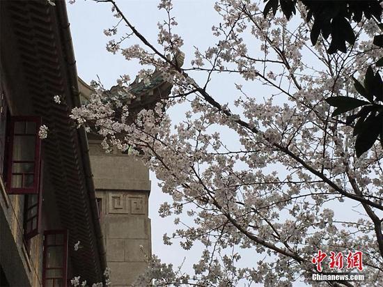 武汉大学樱花初绽 盛花期未至游人已如织(图)