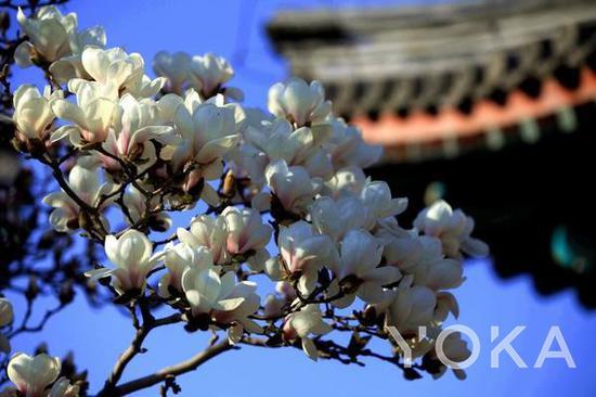 颐和园的玉兰花 图片来自ZOL论坛@shiyu_111