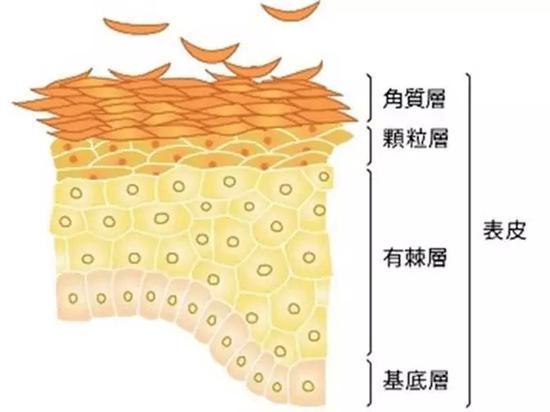 真皮层衰老   真皮结构的改变是皮肤老化的主要原因.