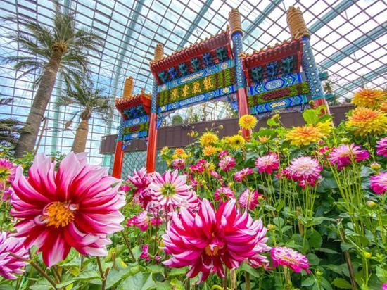 大丽花之梦绽放狮城 来新加坡滨海湾花园贺新春