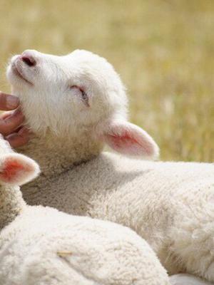 超萌小绵羊,你的心融化了吗?