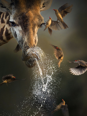 """看动物界""""高妹""""长颈鹿花式搞笑"""