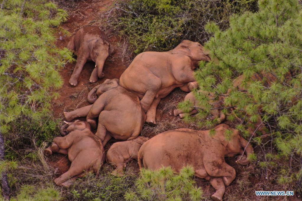 China's migrating elephant herd continues to wander in southwest township