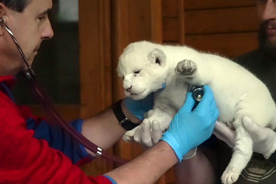 Rare white lion born in Hungary