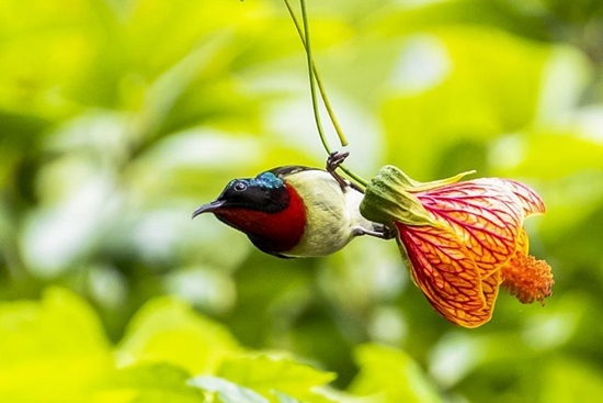 Fork-tailed sunbird flies among flowers in Chongqing