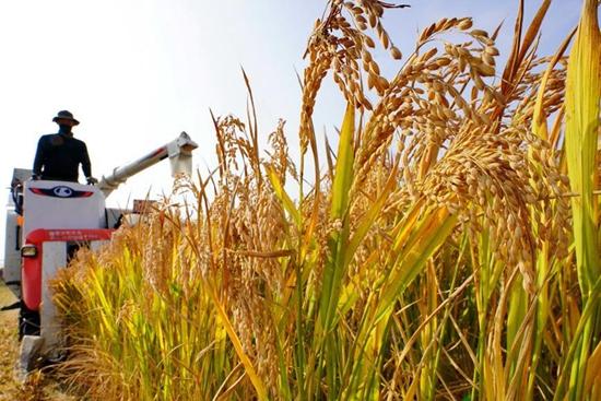Paddy field in Hebei's Caofeidian District enters harvest season