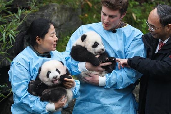 """Giant panda twins of """"Bao Mei"""", """"Bao Di"""" at Pairi Daiza zoo in Belgium"""