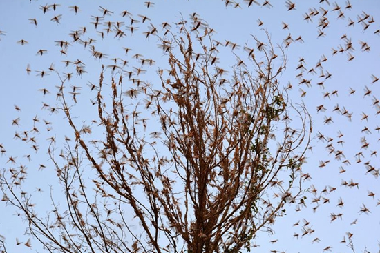 Swarms of Locusts reach outskirts of Sukkur, southern Pakistan