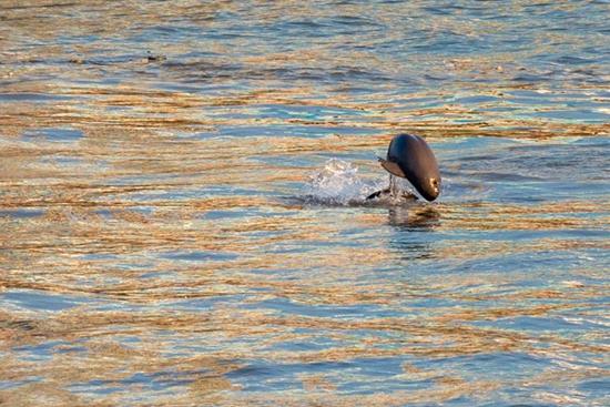 Finless porpoises seen in Yangtze River in Yichang, Hubei Province