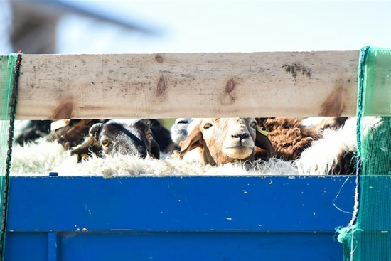 Mongolia-donated sheep arrive in north China border city