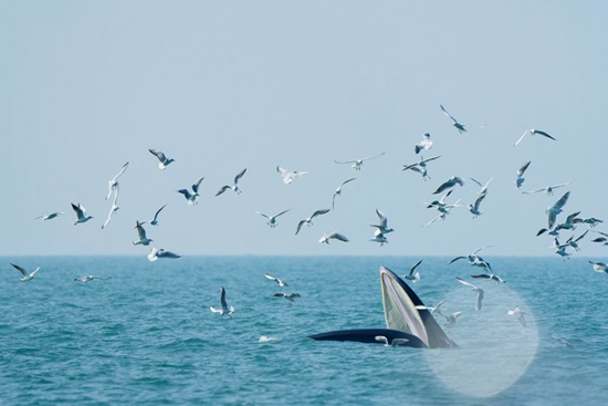 Bryde's whale appears in S China's Guangxi