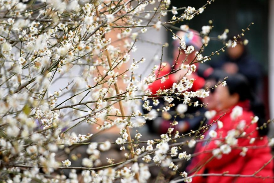 Visitors enjoy leisure time among plum blossom in Fujian