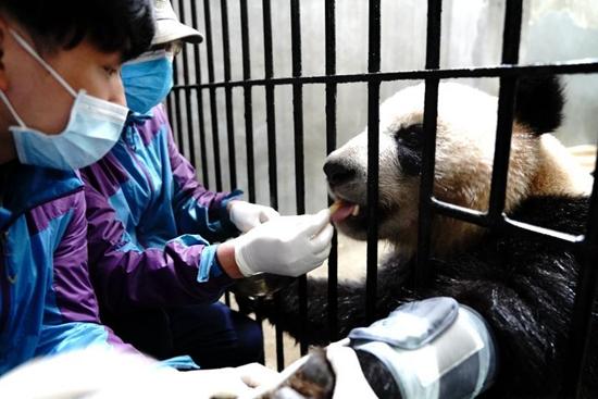 Routine health checks ensure physical health of giant pandas