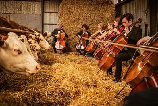 """双语热点:""""对牛弹琴""""现实版:丹麦农舍为奶牛举办音乐会"""
