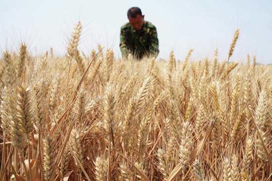 Summer wheat harvest underway in Hebei