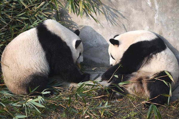 Giant pandas returning from U.S. adapt to Chinese life