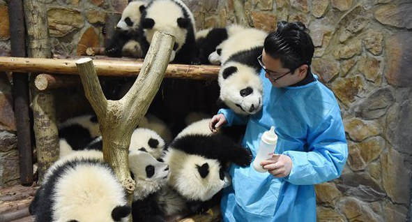 Chengdu panda keeper becomes famous after feeding video goes viral