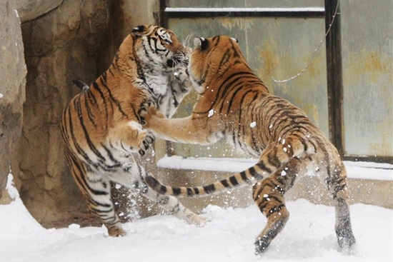 Siberian tigers play in snow at zoo in E China