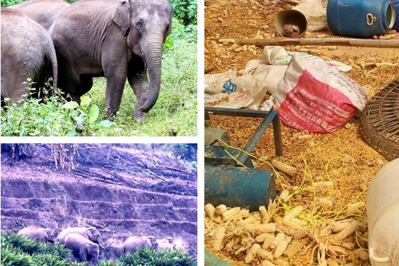 Elephants invade Yunnan village in search of food