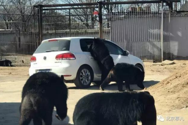 Giant black bears attack tourist car at wildlife zoo in Beijing