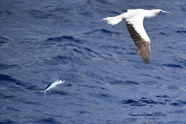 Flying fish seen in waters of China's Xisha Islands