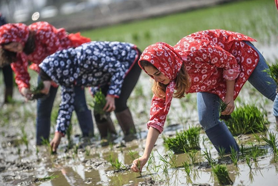 Foreign students experience transplanting rice seedlings in NE China