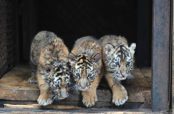 One-month old quadruplets of Siberian tiger cubs meets visitors