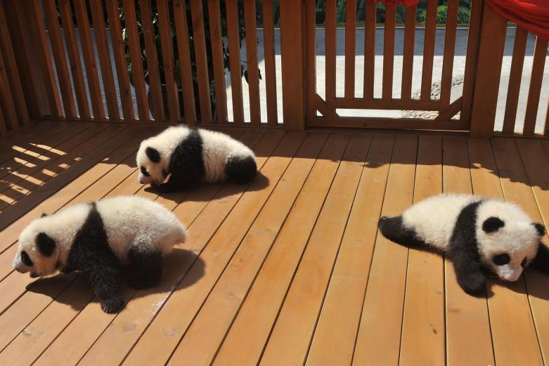 Northwest China province asks public to name panda cubs