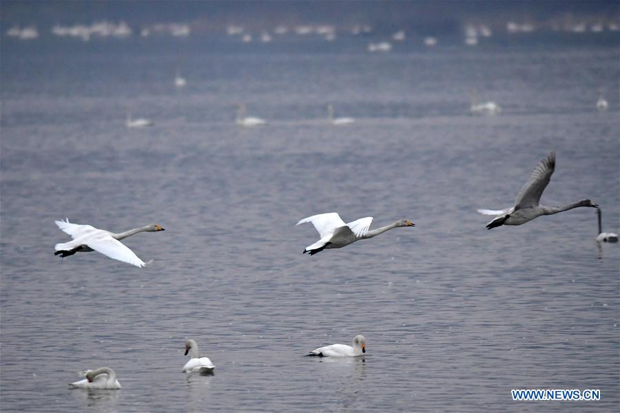 White swans fly from Siberia to spend winter in China's Henan