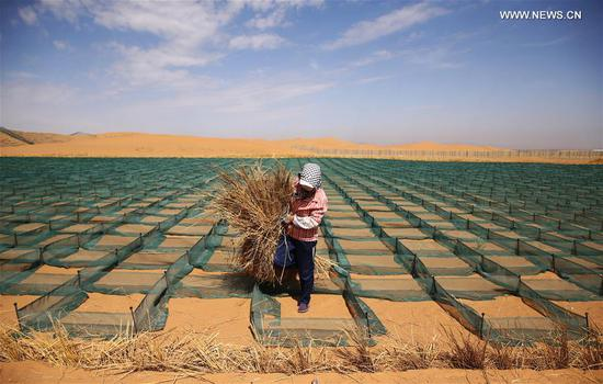 A desertification control worker makes straw checkerboard barriers in the Tengger Desert along the construction site of the Qingtongxia-Zhongwei section of the Wuhai-Maqin highway in northwest China's Ningxia Hui Autonomous Region, Sept. 7, 2020. The Qingtongxia-Zhongwei section of the Wuhai-Maqin highway is under construction, of which an 18-kilometer-long section going through the Tengger Desert is the first desert highway in Ningxia. A desertification control team has worked along the highway construction site, using straw checkerboard barriers and planting vegetation to stop the dunes from moving or expanding. (Xinhua/Feng Kaihua)