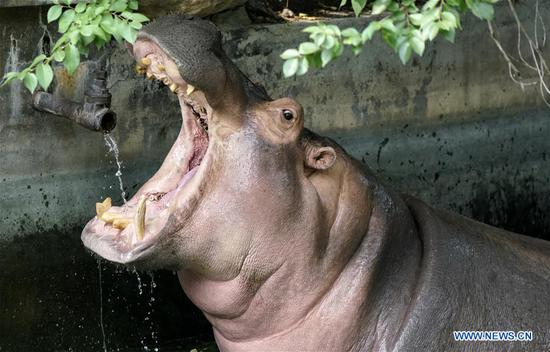 A hippopotamus drinks water at Beijing Zoo in Beijing, capital of China, July 30, 2020. Beijing Zoo has prepared facilities to help animals fend off the summer heat in recent days. (Xinhua/Li Xin)