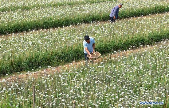 Farmers pick leek flowers in Lucun Town of Zibo City, east China's Shandong Province, Sept. 10, 2018. (Xinhua/Zhao Dongshan)