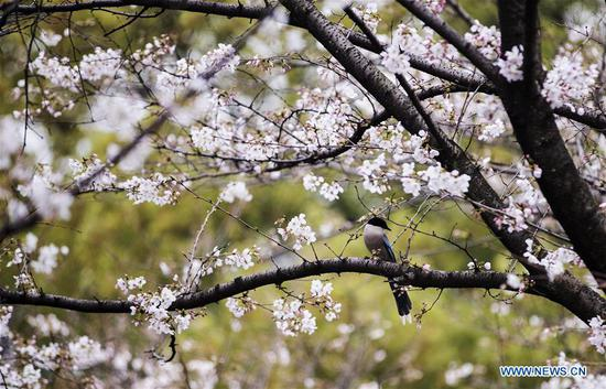 Photo taken on March 16, 2020 shows spring scenery at the campus of Wuhan University in Wuhan, central China's Hubei Province. The campus of Wuhan University is not open to the public due to epidemic prevention and control works. The university on Monday organized a ten-day live broadcast to show cherry blossoms in spring in the campus. (Xinhua/Fei Maohua)
